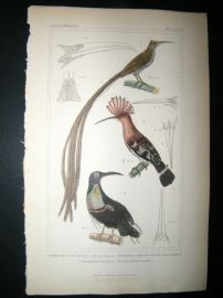 Cuvier C1835 Antique Hand Col Bird Print. Africa Hoopoe, New Guinea Hoopoe, The Splendid Epimachus, 39